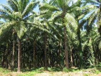 Bountiful Palm Plantation, Isiala Ngwa, Abia, Industrial Land for Rent