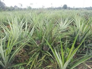 Pineapple Farm and Fruit Juice Processing Project, Km 46, Benin Auchi Road, Ehor, Uhunmwonde, Edo, Commercial Land for Sale