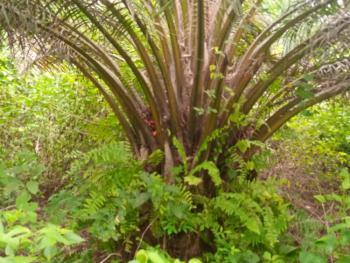 Ready to Harvest Palm Tree Farm Land, Ilashe Area of Idiroko, Ipokia, Ogun, Industrial Land for Sale