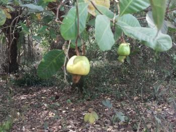 Cashew Farm Plantation on 1,000 Acres, Ado-odo/ota, Ogun, Commercial Property for Sale