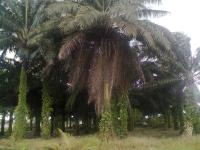 400ft By 120ft with 100 Palm Trees, Within Ughelli Stadium, Ughelli North, Delta, Land for Sale