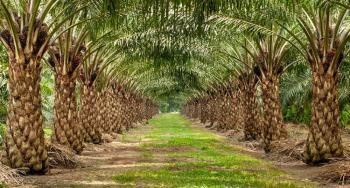 350 Acres of Land with Full Palm Tree Plantation, Ikire, Aiyedaade, Osun, Commercial Land for Sale