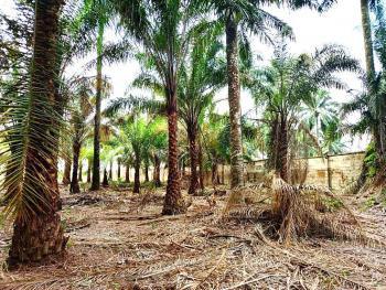 Matured and Functional Oil Palm Plantation, Ifiayon Usuk (entrance of Le-meridian) Nwaniba, Uyo, Akwa Ibom, Commercial Land for Sale
